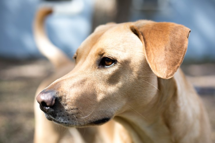 Yellow Lab, Rescue Dog